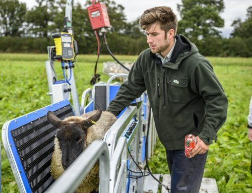 Selecting Organic Lambs