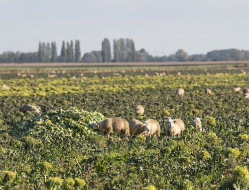 Grazing organic sheep on brassica stalks