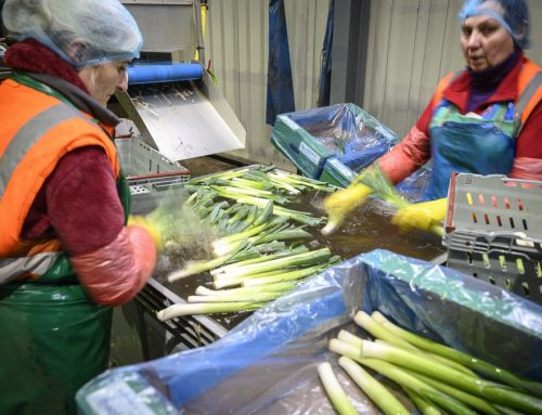 Washing and Packing Organic Leeks