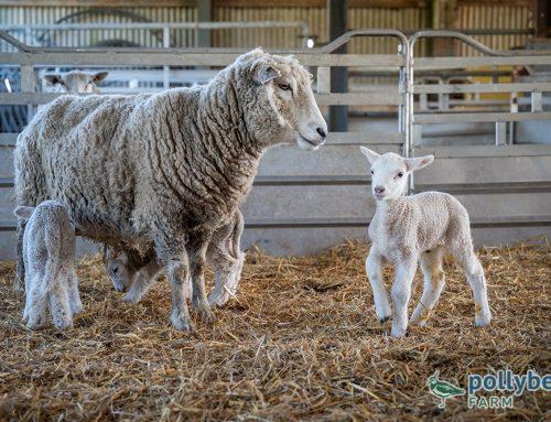 Organic Spring Lambs