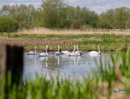 Swans Enjoying Our Man Made Wetland Area
