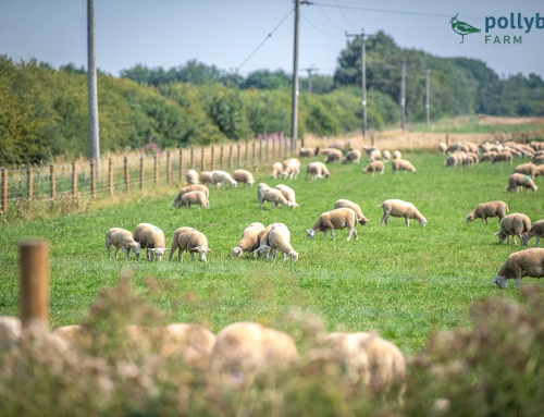 Organic Lambs in Summer