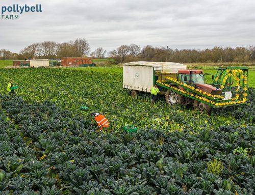Harvesting Organic Kale